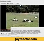 Fainting Goatsjimmywan87 Q Subscribe7 videos Top CommentsI want to breed these goats. Get about 30 and keep them in a large back yard. Every morning I will have my coffee, watch a bit of the news and get ready for work. Before I leave I'll go out back with a pistol and fire it in the 4 Llke ^ Add *